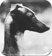 Piękna głowa o doskonałych proporcjach. Doskonały kształt oczu, uszy idealnie osadzone przy zaciekawieniu. Śliczna szyja z delikatnym łukiem.