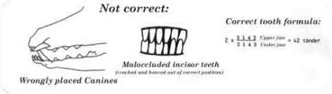 Nieprawidłowe: źle osadzone kły / nachodzące na siebie siekacze (wgniecione lub przesunięte z właściwej pozycji). Prawidłowy układ zębów: 2 x 3 1 4 2 szczęka górna, 2 x 3 1 4 3 szczęka dolna