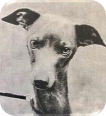 Pies o raczej twardym wyrazie. Małe oczy w kształcie migdałów, które są źle osadzone i mają zbyt jasny kolor.