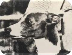 Poprawnie osadzone i o poprawnym kształcie, tzw. 'róża'. (wielobarwny amerykański pies)