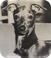 Poprawnie osadzone i noszone uszy w stanie czujności, tzw. 'śmigiełka'. U tego psa widzimy także poprawny rozmiar uszu, co jest częścią jego ogólnego wizerunku.