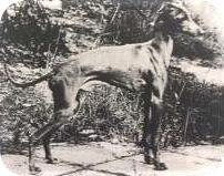 Bardzo elegancki i typowy młody pies z doskonałą głową i znakomicie osadzoną szyją.