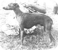 Pies z krótką, nieelegancką szyją, osadzoną za bardzo z przodu i zbyt nisko na kłębie.