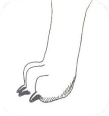 Nieprawidłowa - 'kocia łapa'