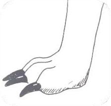 Czasami zbyt długie pazury mogą wpływać na kształt łapy.