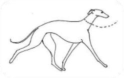 BŁĘDNY: Nogi prowadzone zbyt blisko ziemi, zbyt nisko noszona głowa (chód charakterystyczny dla Greyhounda lub Whippeta).
