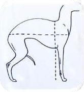 Zbyt długi tułów, sprawiający tylko wrażenie krótkiego, przez to, że linia grzbietu jest mocno zakrzywiona. Zawsze należy pozwolić psu rozruszać się przed oceną w ringu! Właściwa długość ciała  i sylwetka Charcika Włoskiego może zmienić się optycznie nawet w zależności od temperatury czy wiatru.