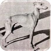 Elegancki pies, znakomity w typie. Bardzo ładnie noszona głowa. Poprawna linia górna i przednia, jednak mógłby mieć lepiej kątowane kończyny tylne.