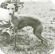 Młody pies z bardzo typową sylwetką. Klatka piersiowa mogłaby być nieco głębsza, ale ma bardzo dobrą linię górną i dolną. Poprawne kątowanie kończyn przednich i tylnych. Stoi z jedną przednią nogą uniesioną, co jest bardzo typowe dla rasy!